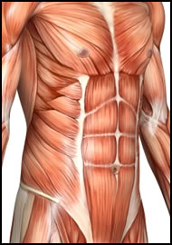 Here's a close look at your rectus abdominus, which are you 8 pack abs.