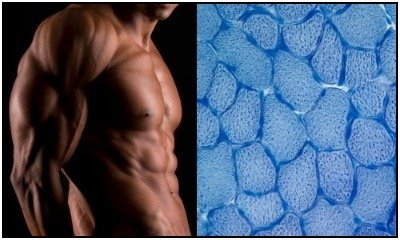 Left: Muscular guy. Right: A microscopic photo of quadriceps muscle cells. Use this guide to understand how creatine works to improve the action of your muscle cells and make you stronger.
