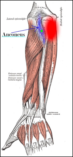 How to treat tennis elbow by massaging the anconeus. This image is taken from Wikipedia, and touched up to highlight the anconeus and its associated pain pattern.
